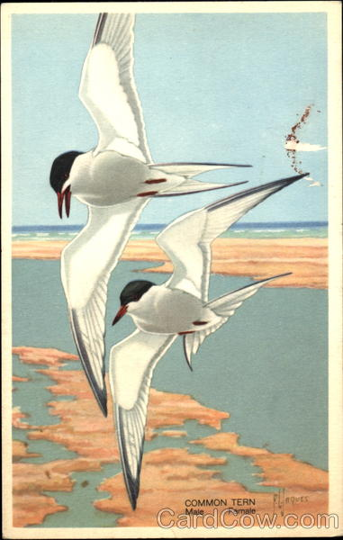Common Tern Frances Lee Jaques Birds
