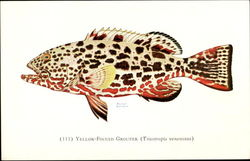 Yellow Finned Grouper