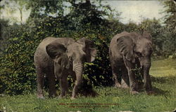 Pair Of African Elephants, New York Zoological Park