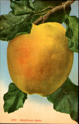 Belleflower Apple Postcard