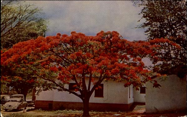 Acacia Tree In The Grounds Of The Caracas Country Club Venezuela