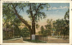 The Washington Elm Postcard