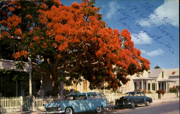 Flowering Royal Poinciana Tree Keywest Florida