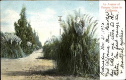 An Avenue Of Pampas Grass In California