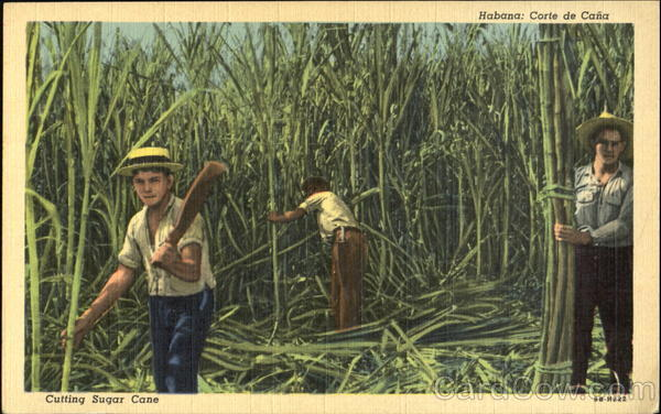 Cutting Sugar Cane Cuba Caribbean Islands