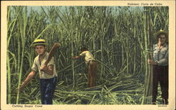 Cutting Sugar Cane