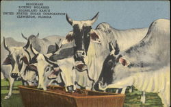 Brahmans Licking Molasses Postcard