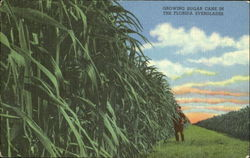 Growing Sugar Cane In The Florida Everglades
