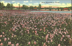 Water Hyacinths In Florida