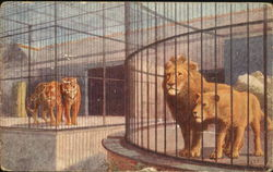 Lions And Tigers In The Lion House, Zoological GArdens