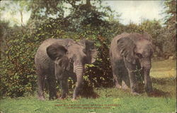 Pair Of East African Elephants, New York Zoological Park