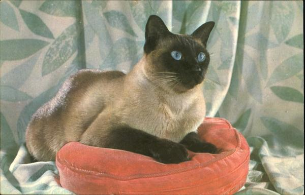 Pure Breed Sealpoint Siamese Cat Cats
