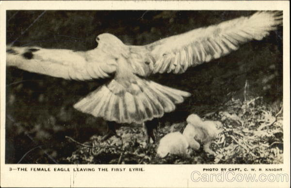 The Female Eagle Leaving The First Eyrie Birds