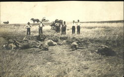 Farmers Cattle Killed by Cyclone 1908