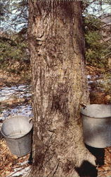 Collecting Of Sap From Maple Trees