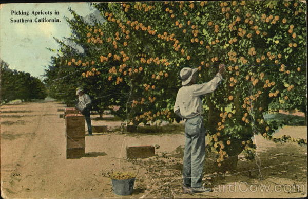 Picking Apricots In Southern California Fruit
