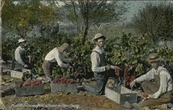 Fruitful California Picking Grapes, Napa County