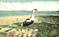 The Eider Duck Of Alaska