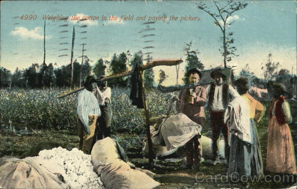 Weighing The Cotton In The Field And Paying The Pickers