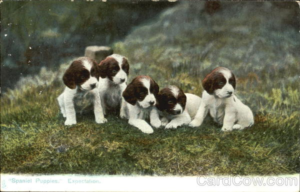 Spaniel Puppies Expectation Dogs