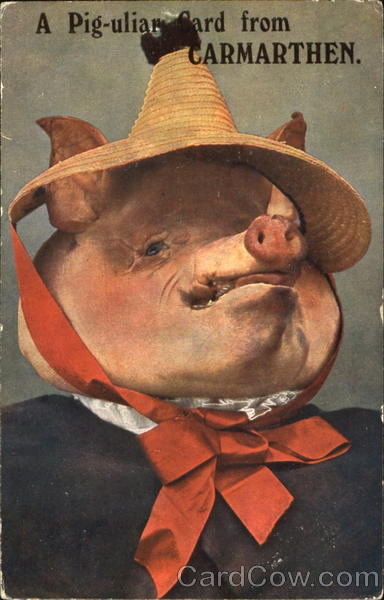 A Pig-Uliar Card From Carmarthen Pigs