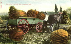 Gathering Pumpkins Near Tillamook