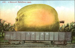 A Mammoth Belleflower Apple Postcard