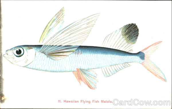 Hawaiian Flying Fish Malolo