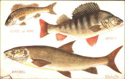 The Barbel The Perch The Ruffe Or Pope