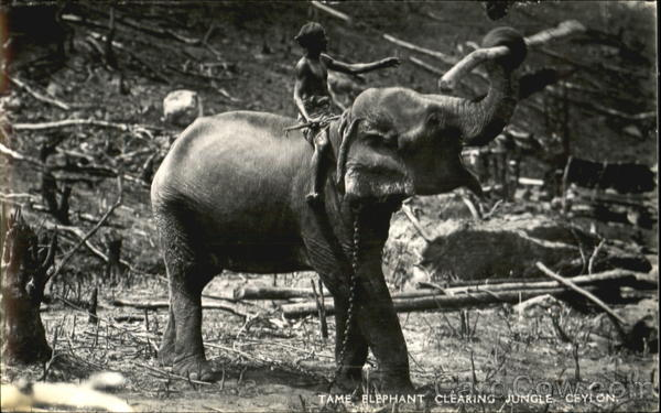 Tame Elephant Clearing Jungle Ceylon Southeast Asia