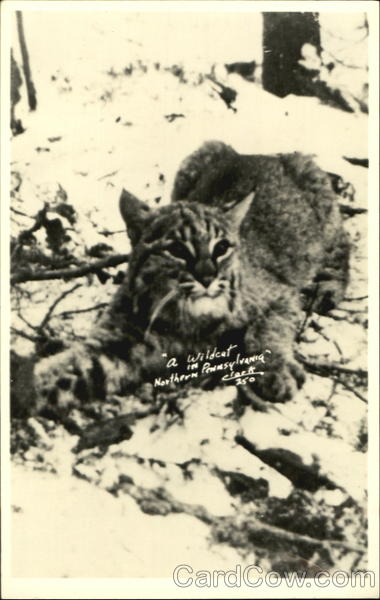 A Wildcat In Northern Pennsylvania Cats