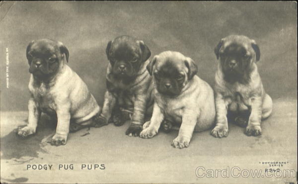 Podgy Pug Pups Dogs