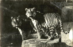 Western Tigers, The Chicago Zoological Park Postcard