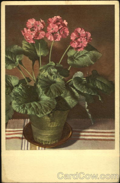 Primula Obconica Hance Thor E. Gyger Flowers