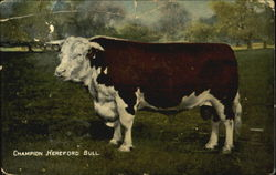 Champion Hereford Bull - Dominion Coal & Wood Limited