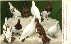 Ptarmigan Or Arotio Grouse