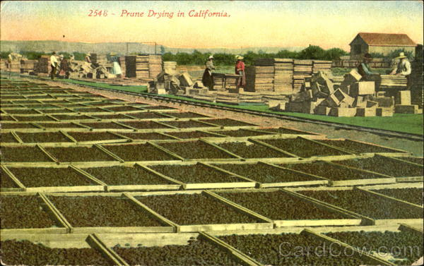 Prune Drying In California