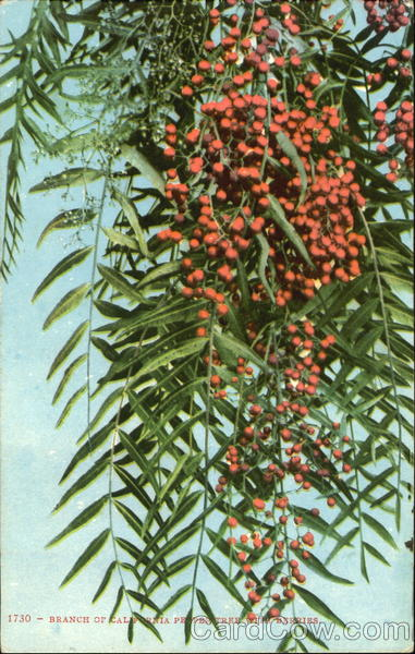 Branch Of California Pepper Tree With Berries Trees