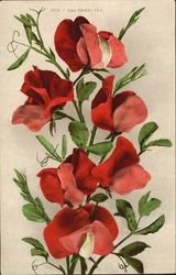 Red Sweet Pea Postcard