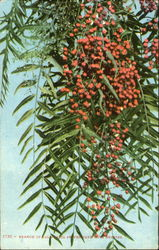 Branch Of California Pepper Tree With Berries