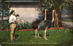 Breaking The Young Ones Cawston Ostrich Farm