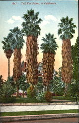 Tall Fan Palms