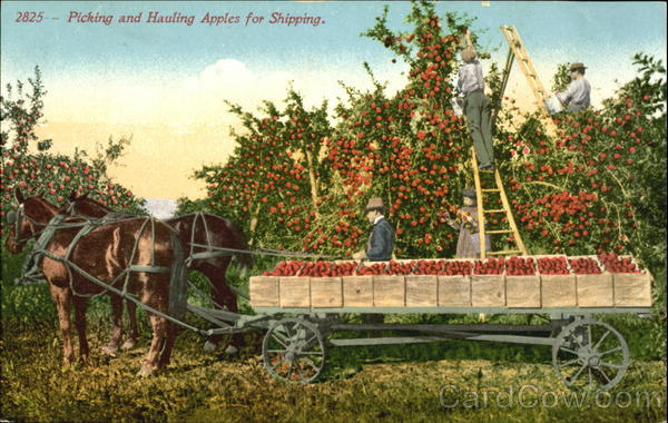 Picking And Hauling Apples For Shipping Fruit