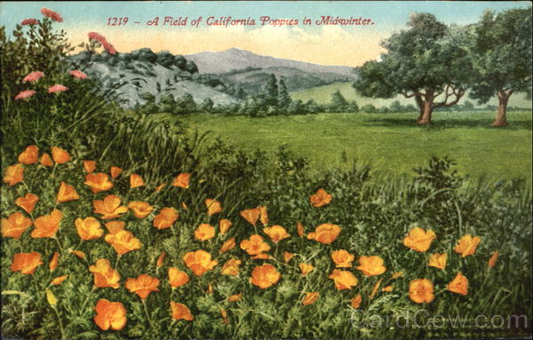 A Field Of California Poppies In Midwinter San Francisco
