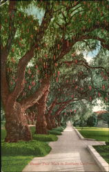 Pepper Tree Walk In Southern California