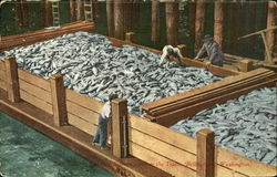 Scorw Load Of Salmon From The Traps