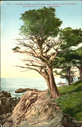 Cypress Trees On Seventeen Mile Drive