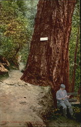Roosevelt Big Tree At Shasta Springs