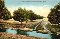 Irrigating A California Orange Grove