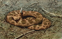 Rattlesnake Ready To Strike